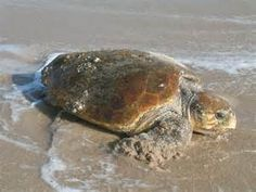 Learn about the loggerhead turtle, as well as the threats this species faces, what WWF is doing to protect its future, and how you can help. Sea Turtle Nest, Turtle Beach, Sea Turtles, Sea Turtle Species, Sea Turtle Pictures, Loggerhead Turtle, Edisto Beach, Terrapin, Hilton Head Island