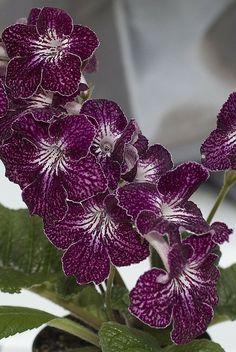 Streptocarpus 'Purple Pepper'