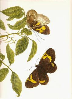 One of my favorite artists, Maria Sibylla Merian /Botanical Art Print