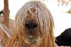 AlpacaII.jpg