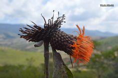 https://flic.kr/p/z1QD5L | Cnicothamnus lorentzii (Asteraceae), Vallegrande, Santa Cruz, Bolivia | Cnicothamnus lorentzii Griseb. (Asteraceae)