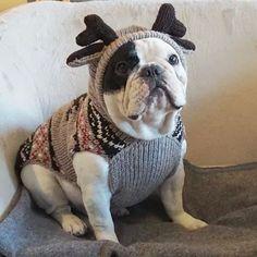 Bulldog franses-reno