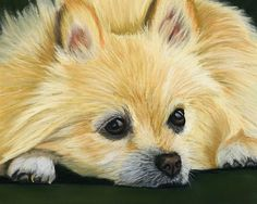 Pomeranian Dog pastel painting by artist Sarah Dowson. Fine Art Prints and Greeting Cards available.