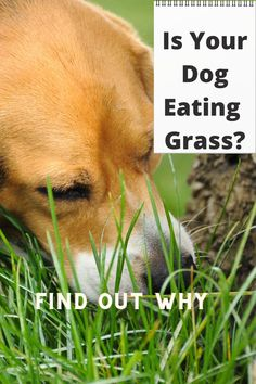 Witnessing a dog eating grass frantically can be alarming for some dog owners. You might even think, why is canine my munching down on some grass? They are eating grass like there is no tomorrow. Does your dog like to pull to the left and right on walks to consume grass or even dirt? You might be wondering why my dog is so addicted to eating grass. Honestly, there are quite a few reasons for a dog too much down on some grass. Dogs Eating Grass, Dog Eating, Online Dog Training, Digging Holes, Types Of Grass, Signs Of Anxiety, Dog Behavior, Physical Activities