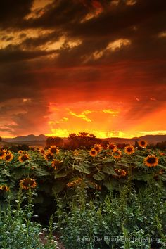 August Sunflower Skies, Longmont, Colorado without the photoshopped big sunflower in the forefront.