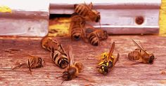 HealthFreedoms – EPA Releases Study On Pesticides Killing Bees, Gets Sued Immediately By Beekeepers