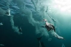 Gannets are usually shallow divers but are capable of diving over 70' in persuit of a good fish.