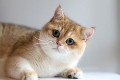 Many people would have heard about the Golden British Shorthair. However, not many know what do they look like and the easiest way to identify them. For the people that do not know much about the British shorthair. #BritishShorthair #ShorthairKittens #KittensNearMe Buy A Kitten, Kitten For Sale, Buy A Cat, Kittens Near Me, Baby Kittens, Cats And Kittens, Beautiful Green Eyes, Beautiful Kittens, Sky Blue Eyes