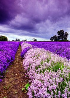 - you're not the only one - Lavender Fields Forever! Lavender Cottage, Lavender Garden, Lavender Fields, Lavender Flowers, Purple Flowers, Lavander, Beautiful World, Beautiful Places, Landscape Photography