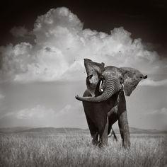 Elephant Throwing Dirt - Urszula Kozak (UrszulaKozak) Photos / 500px