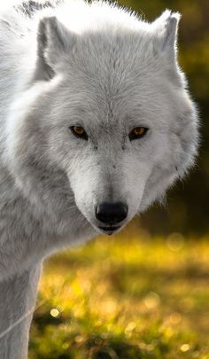 ☀Arctic Wolf (by The Volpe)