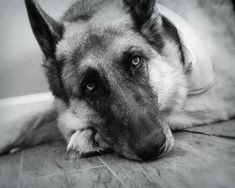 German Shepherd Photography Dogblack and by VanillaExtinction, $20.00