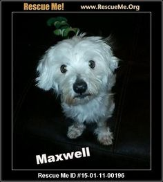 Rescue Me ID: 15-01-11-00196Maxwell (male)  Maltese    Age: Adult  Compatibility:	 Good with Most Dogs, Good with Kids and Adults  Personality:	 Average Energy, Average Temperament  Health:	 Neutered, Vaccinations Current       Sweet and cute little Maxwell the maltese is approx. 5-6 years old, and as you can see in the photos, he is underweight. Once he was shaved down and bathed, he became a new boy! He is doggy door trained, with a few accidents at first. Very loving, seems to be a bit…