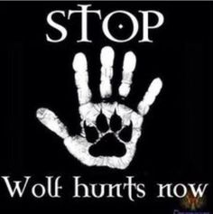 STOP HUNTING WOLVES IDIOT HUNTERS!!!!!