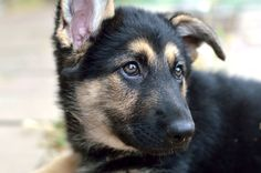 Black & Tan German Shepherd puppy.
