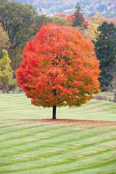1000 Images About Trees For Landscaping On Pinterest