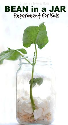 Experiment for kids- grow a magic beanstalk. Fun science that connects to a cherished fairy tale. {Can you believe you only need a bean for this? Science really is magical} Fairy Tale Activities, Science Activities, Science Projects, Science Experiments, Preschool Activities, Science Lessons, Science Week, Summer Science, Spring Activities