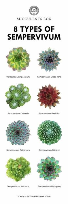 8 Types of Sempervivum - Garden Types Sempervivum, Crassula Succulent, Succulent Gardening, Succulent Terrarium, Succulent Species, Indoor Gardening, Echeveria, Succulent Names, Succulent Wall Art