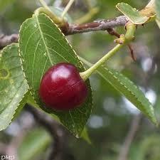 """Résultat de recherche d'images pour """"Prunus mahaleb"""""""