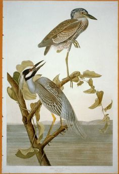 """Yellow-Crowned Heron: The Birds of America by John James Audubon, Vol. IV, Pl. 336. London, 1827-1838, (Elephant Folio). From the John James Audubon """"Bird's in America Collection"""" in the Rare Book and Special Collections Division at the Library of Congress. For the full work see:  http://hdl.loc.gov/loc.pnp/cph.3b52404"""