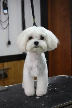 Cute example of a teddy clip on a Maltese with a bit of Japanese style flair. Dog Grooming Styles, Dog Grooming Tips, Cotton De Tulear, Cortes Poodle, Cute Puppies, Cute Dogs, Dog Haircuts, Puppy Cut, Maltipoo