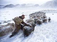 """Spring Herd: Photograph by Tariq Sawyer, National Geographic Your Shot.  """"I traveled to the Altay Mountains in Mongolia to photograph the Kazakh nomads known for their eagle-hunting traditions,"""" - Tariq Sawyer"""