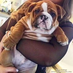 BaggyBulldogs – All about English Bulldogs