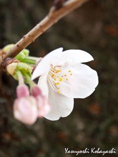 And the day came when the risk to remain tight in a bud was more painful than the risk it took to blossom ~ Anaïs Nin Photo@8270chihaya