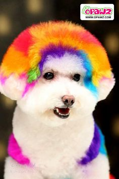 Creative Grooming using OPAWZ PET HAIR DYE. opawz.com supply pet hair dye,pet hair chalk,pet perfume,pet shampoo,spa products