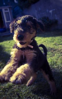 airedale-terrier-...who wouldn't love an airedale!!