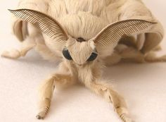 Poodle Moth this was discovered in 2009 in Venezuela.