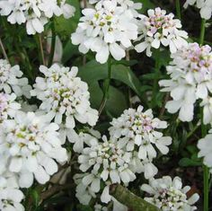 Evergreen Candytuft (Iberis sempervirens)  Small clusters of delicate white flowers appear in low-growing clumps in spring, and continue into the fall. The shiny, dark-green leaves stay on all winter, so the plant remains attractive year-round.     Requires full sun to part shade; regular water.