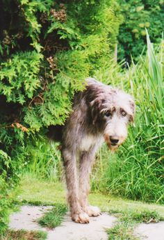 Irish Wolfhound! I want one so bad some day! They are the sweetest and most well mannered family dog