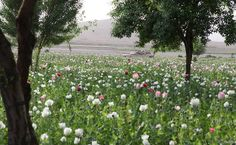 By Phil Harris Global opium production increased by one-third in 2016 compared with the previous year, primarily due to higher opium poppy yields in Afghanistan, and coca bush cultivation increased…