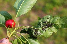 Ako sa zbaviť vošiek. Pomôžu postreky aj lienky | TopByvanie.sk Camera Photography, Garden Art, Zucchini, Plant Leaves, Ale, Fruit, Plants, Tricks, Rock Garden Plants