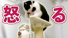 【猫の喧嘩】怒り大爆発・猫パンチ炸裂・鳴き声が猛獣!?【キャットタワーの場所取り】Cat Video. -Angry Cat.