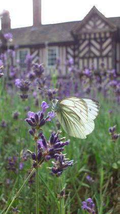 "augustfleurs: "" Green-veined White (Pieris napi) Enjoying Lavender (by "" Lavender Blossoms, Lavender Cottage, Lavender Garden, Lavender Blue, Lavender Fields, Purple Garden, Provence, Perfume, Garden Plants"