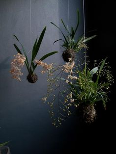 Unique Hanging Kokedama Ball Ideas for Hanging Garden Plants selber machen ball Hanging Orchid, Diy Hanging, Hanging Plants, Hanging Gardens, Orchids Garden, Garden Plants, House Plants, Magic Garden, Dream Garden