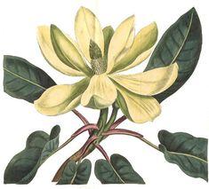 Section Auriculata  Magnoliacese - Magnolia fraseri |  From Curtis's Botanical Magazine; or Flower Garden Displayed (London 1809 ) | Fraser magnolia | Ear-leaved magnolia | Frasers magnolia Hjemmehørende i det sydøstlige USA. Kan blive 10-15 m høj. Hårdfør, men sjældent plantet; i Danmark kun i enkelte samlinger. Stærkt duftende blomster i juni med ca. 10 cm lange kronblade. Frugten 10-12 cm lang, rød. Bladene er letkendelige.