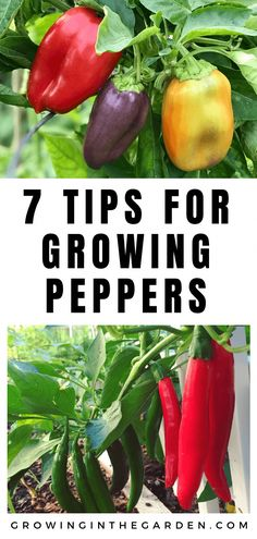 How to grow peppers growing peppers planting choice for gardening beginners try growing bell peppers! bellpeppers 5 keys to growing fantastic tasting bell peppers Garden Types, Backyard Vegetable Gardens, Vegetable Garden Design, Indoor Garden, Fruit Garden, Edible Garden, Backyard Patio, Organic Vegetables, Growing Vegetables