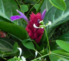 A tiny plant with enchanting flowers: Brazilian Fireworks, or Porphyrocoma pholiana 'Maracas'.