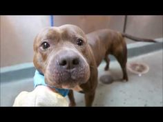 SAFE❤️❤️ 1/11/17 THANK YOU❤️❤️ TAKE GOOD CARE OF THIS CUTIE❤️❤️1/11/17 LISTED TO BE MURDERED TODAY!! Brooklyn Center My name is LOVESTUCK. My Animal ID # is A1100805. I am a male br brindle and white american staff mix. The shelter thinks I am about 2 YEARS I came in the shelter as a STRAY on 12/31/2016 from NY 11423, owner surrender reason stated was STRAY.
