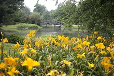 A beautiful shot of daylilies in our Japanese Garden, as it started to rain! Missouri Botanical Garden, Yahoo Images, Gardening Tips, Image Search, Rain, Bloom, Japanese, River, Plants