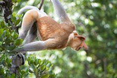 MACACO PROBÓSCIDE Encontrado nas florestas do Borneo, é um dos maiores macacos da Ásia. Ele usa o nariz para atrair as fêmeas e são excelentes nadadores.