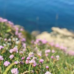 Sea of sea thrift #seaside #wildflowers #brittany #Bretagne #concale #seathrift #frenchholiday
