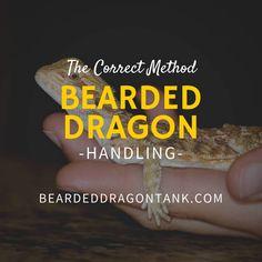 Bearded Dragon Handling