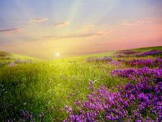 Lavender Field Sunlight & Sky HD Desktop Wallpaper