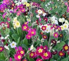 Primula polyanthus Large Flowered Mixed, perennial, WS, 2012 from Prague