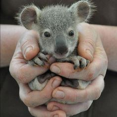 Baby Koala - what a cute handful.  Unfortunately, like so many other species, they are struggling to survive in the current environment. A percentage of the profits earned by www.ecoelle.com.au has been set aside to protect these animals.