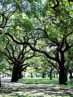 Love these big old trees.  Would love to live at the end of a street lined with these trees.